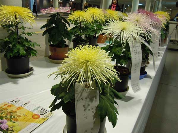 [Oct,31 – Nov, 3] Sapporo Chrysanthemum Festival 2014