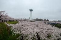 Goryokaku Park(五稜郭公園) in Hakodate, Famous Sakura Viewing Site, Cherry Blossoms of Hokkaido