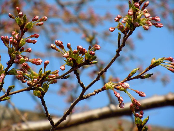 Maruyama Park [円山公園]: Cherry Blossoms in Hokkaido