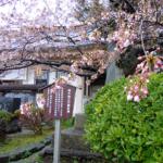 Matsumae Park [松前公園] : Cherry Blossoms in Hokkaido