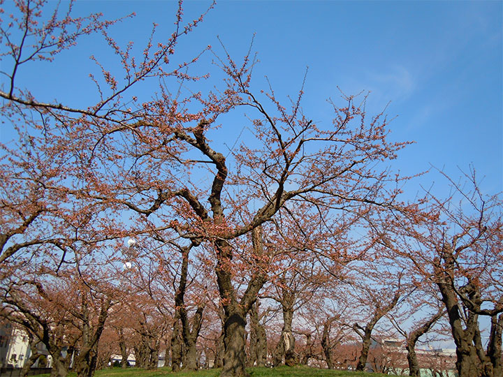 Cherries May Start Blooming Early in this year, 2015 in Hokkaido
