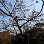 Matsumae and Hakodate announced Sakura Blooming on April 19 and 21