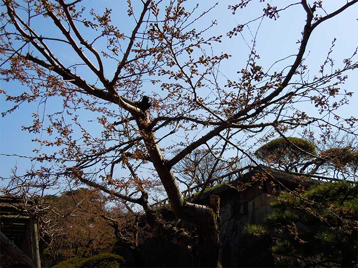Matsumae and Hakodate announced Sakura Blooming on April 19 and 21