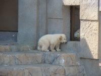 Polar Bear's Baby in Maruyama Zoo, Sapporo