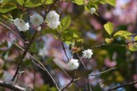 Best 10 Sakura Sites in Hokkaido