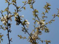 Sapporo announced Sakura Blooming on April 22