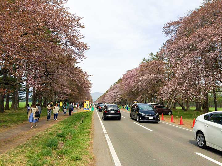 Nijyukkendoro Sakura Namiki(Cherry-blossoms road): Cherry Blossoms in Shizunai, Hokkaido