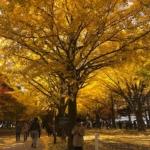Ginkgo trees in Hokkaido University